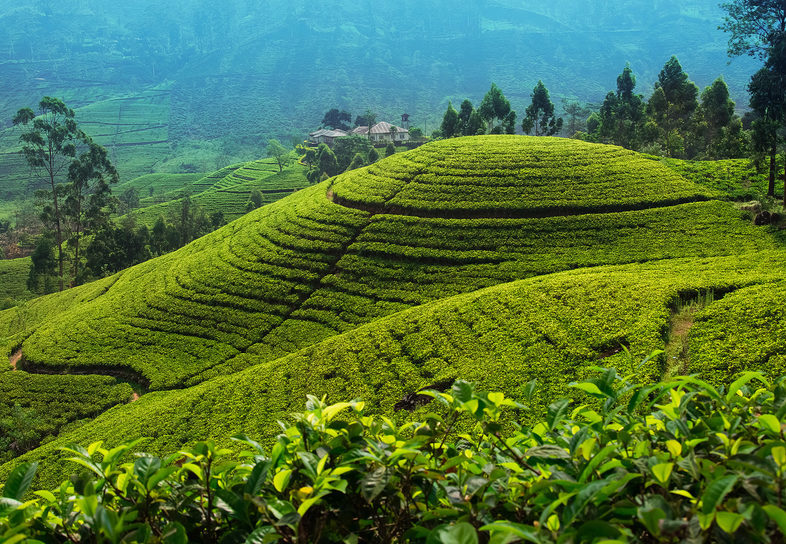 reasons to visit sri lanka the tea trails